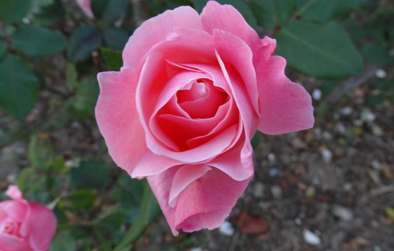 Photo wallpaper flower, summer, rose, Akela White
