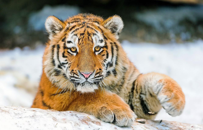 Photo wallpaper look, face, tiger, paws, tiger