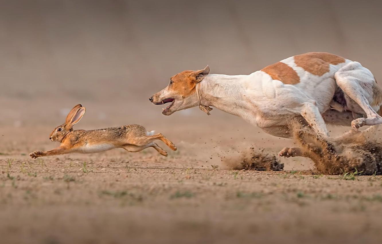 Photo wallpaper hare, dog, Death Race