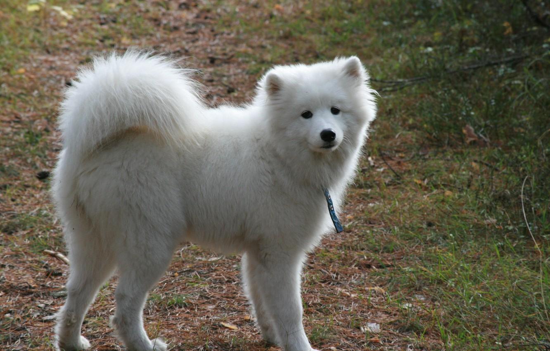 Photo wallpaper dogs, background, dog, white, walk, fluffy, Samoyed