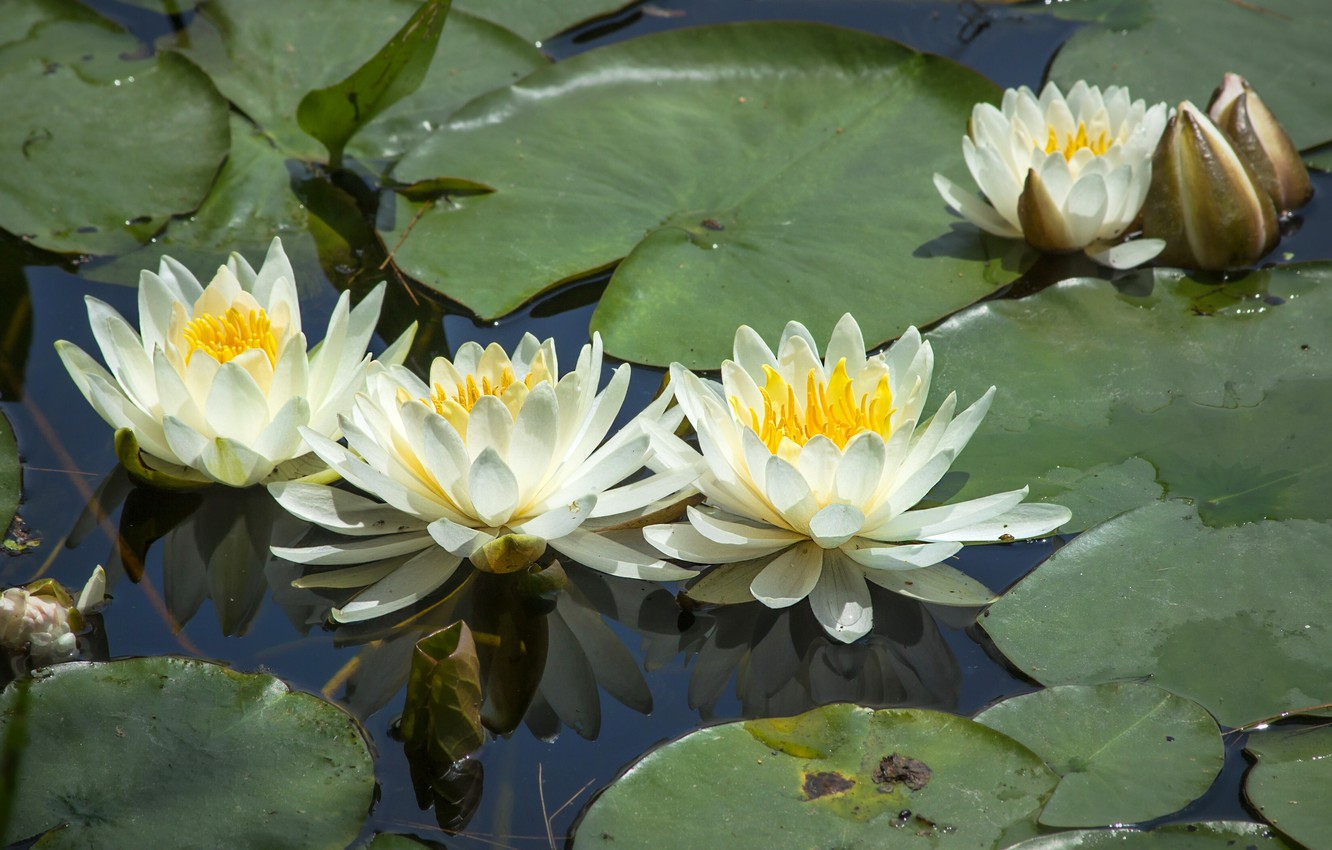 Photo wallpaper leaves, water lilies, Nymphaeum, water Lily