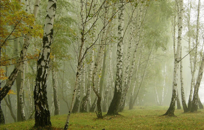 Photo wallpaper grass, nature, fog, birch