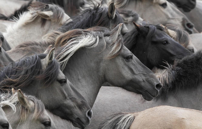 Wallpaper horses, horse, muzzle, the