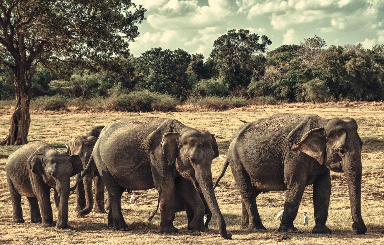 Photo wallpaper elephants, family, Sri Lanka, Minneriya national Park
