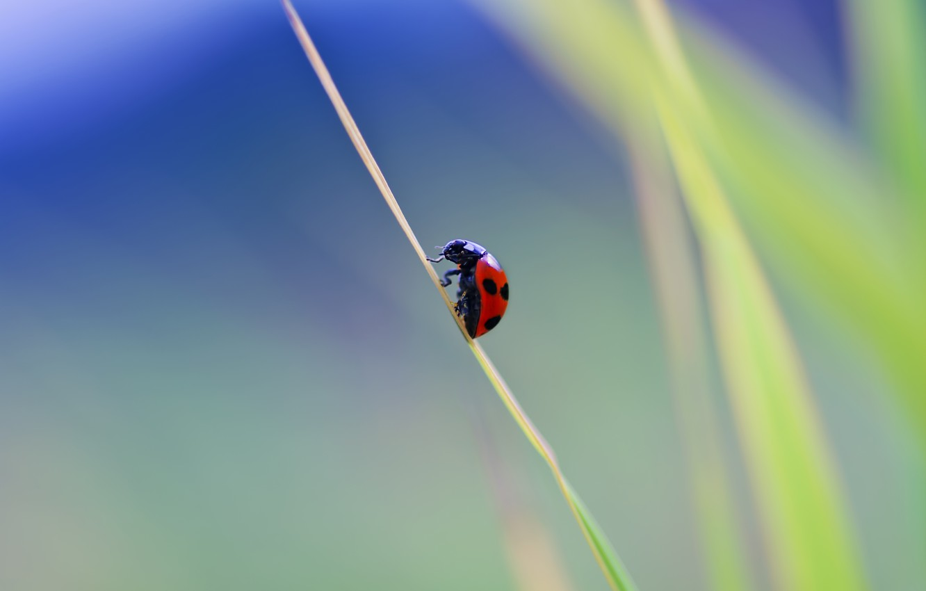 Photo wallpaper macro, ladybug, beetle, insect, a blade of grass
