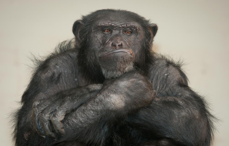 Photo wallpaper monkey, chimpanzees, the primacy of