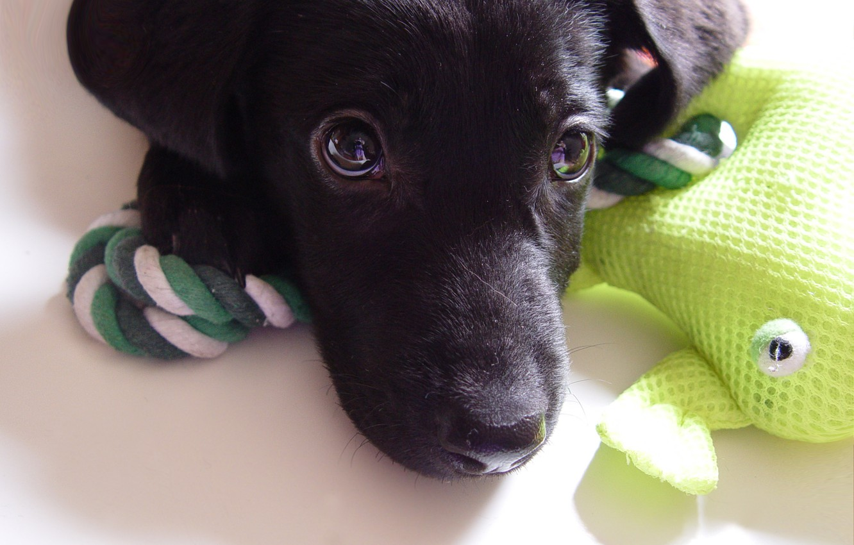 Photo wallpaper look, toy, frog, dog, puppy, green, Labrador, Mixi