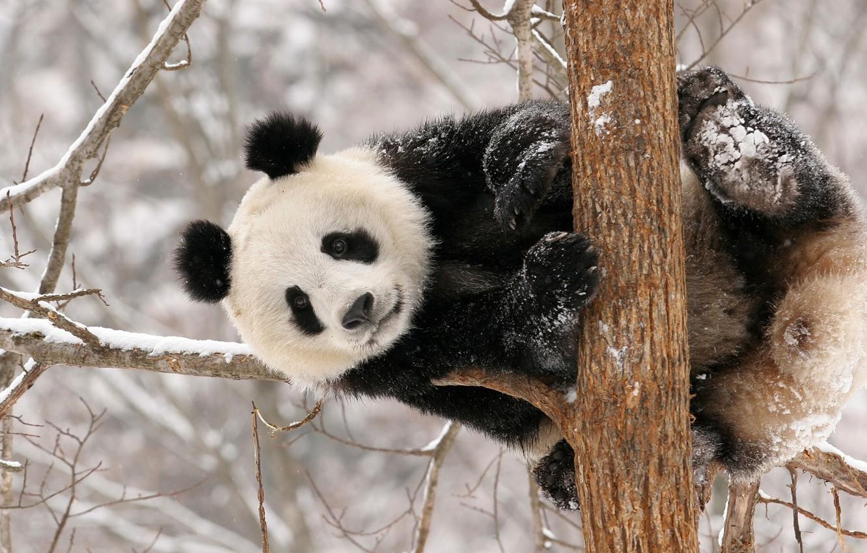 Photo wallpaper winter, snow, Panda, bear