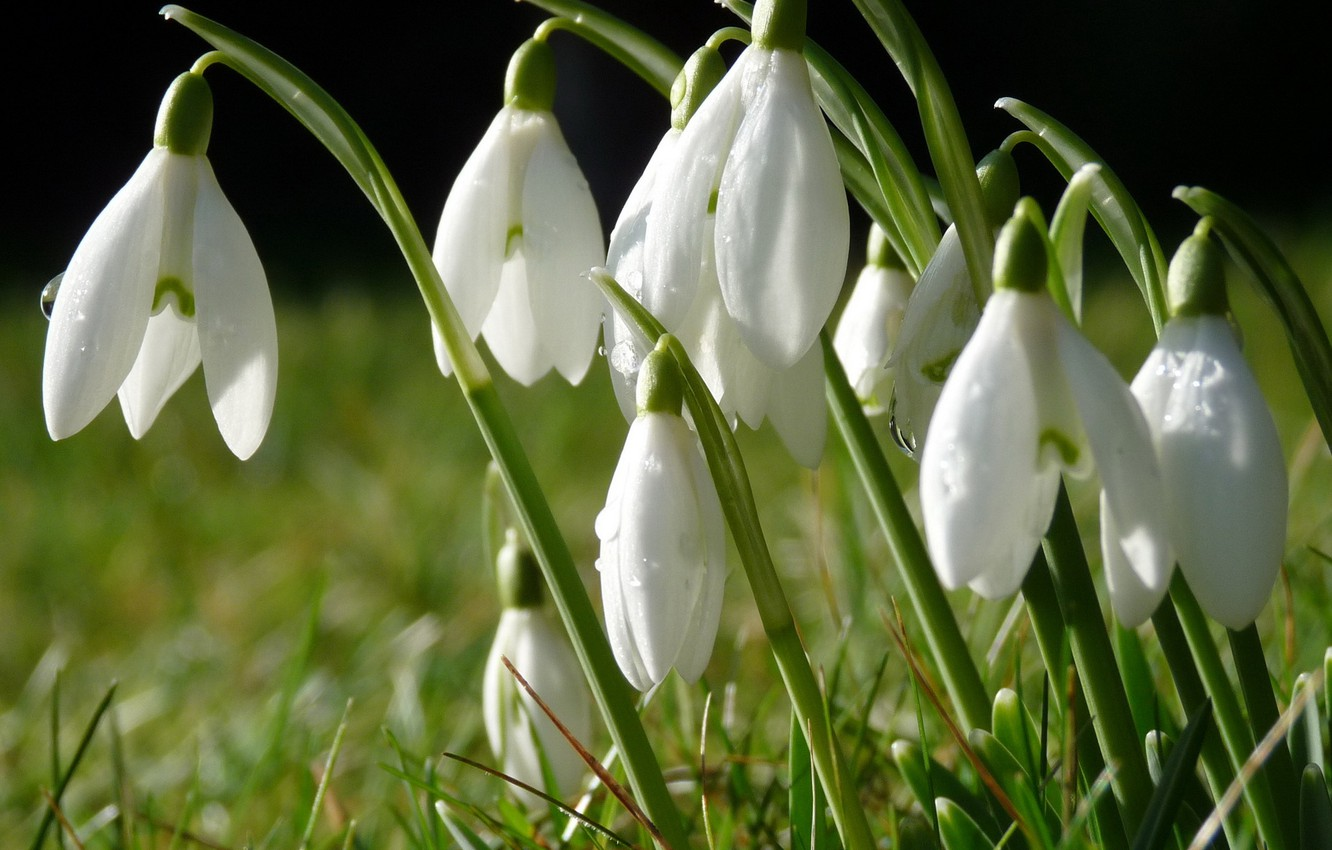 Macro Snowdrops Spring Wide wallpapers