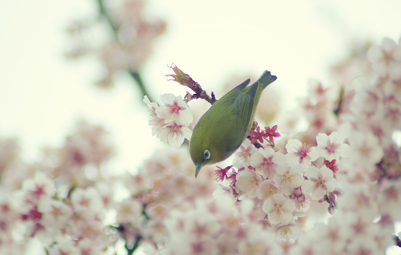 Photo wallpaper flowers, spring, Bird, the cherry blossoms