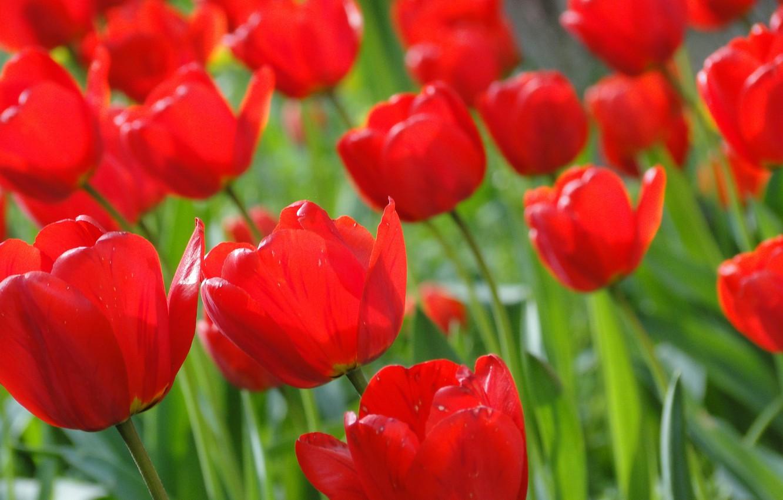 Photo wallpaper summer, flowers, tulips, Akela White