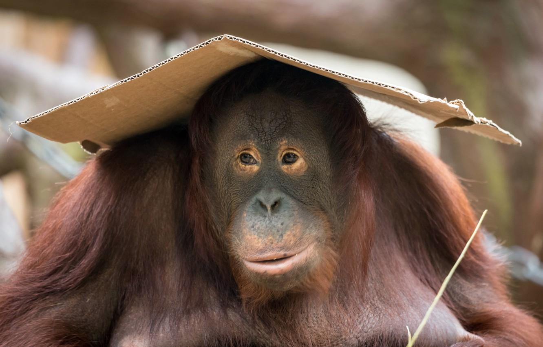 Photo wallpaper background, monkey, orangutan