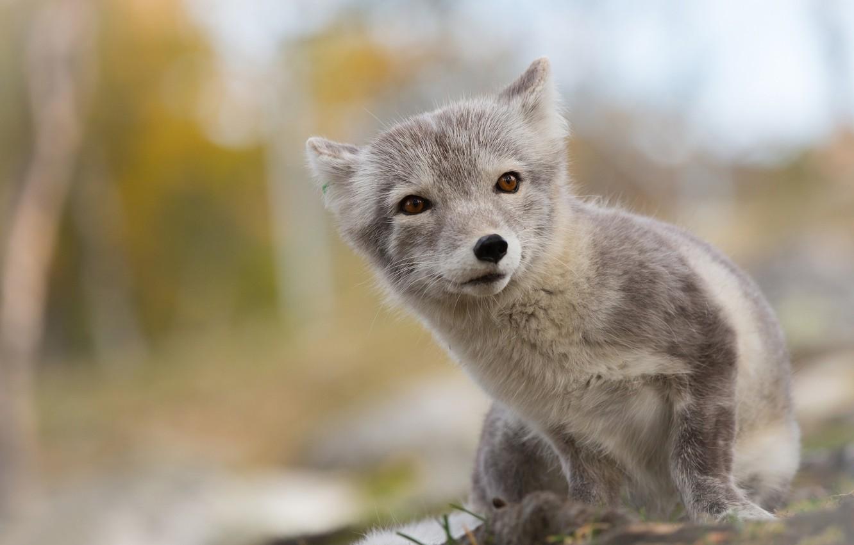 Photo wallpaper summer, Fox, Fox, Arctic