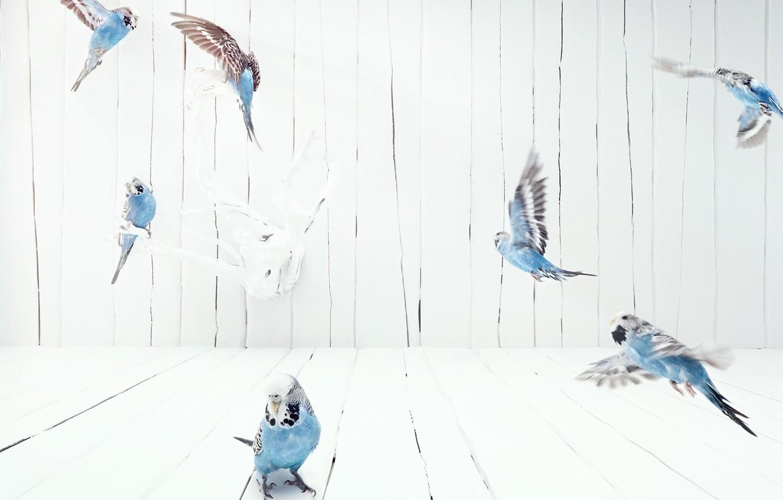 Photo wallpaper flight, Birds, budgies