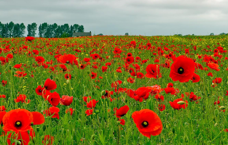 Photo wallpaper field, the sky, clouds, trees, flowers, house, Maki, meadow