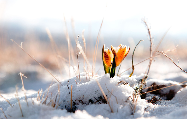 Wallpaper winter, flower, snow, flowers ...