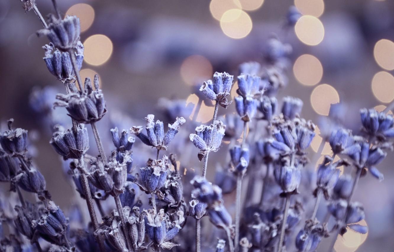 Photo wallpaper glare, lavender, herbarium