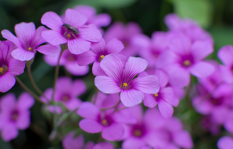 Photo wallpaper macro, flowers, focus, petals, blur, insect, lilac, Oxalis