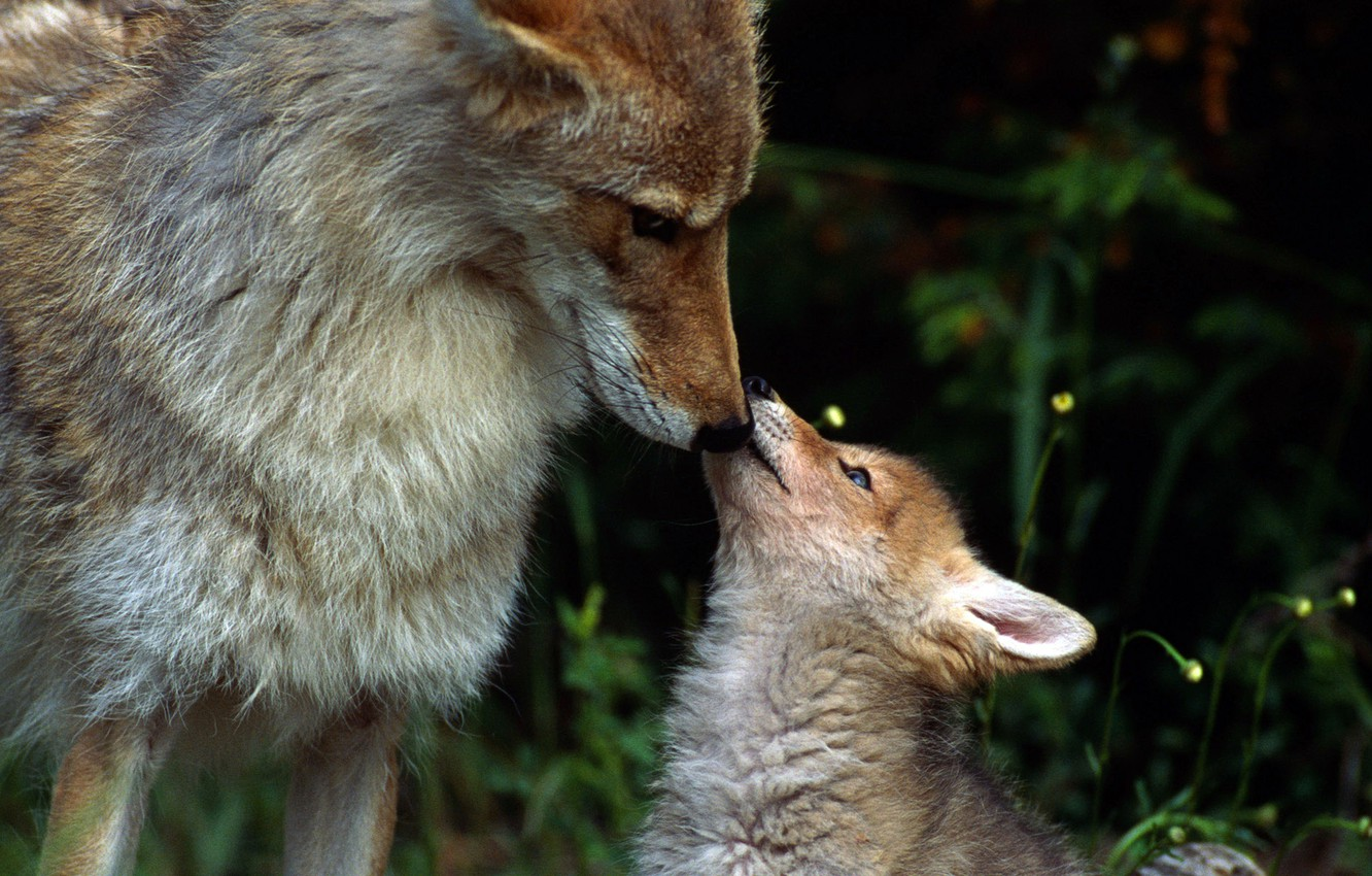 Photo wallpaper forest, pack, wolves