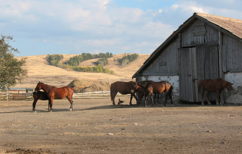 Photo wallpaper horse, horse, farm, the herd, Kazakhstan, Kazakhstan, stable, Agriculture, Akmola