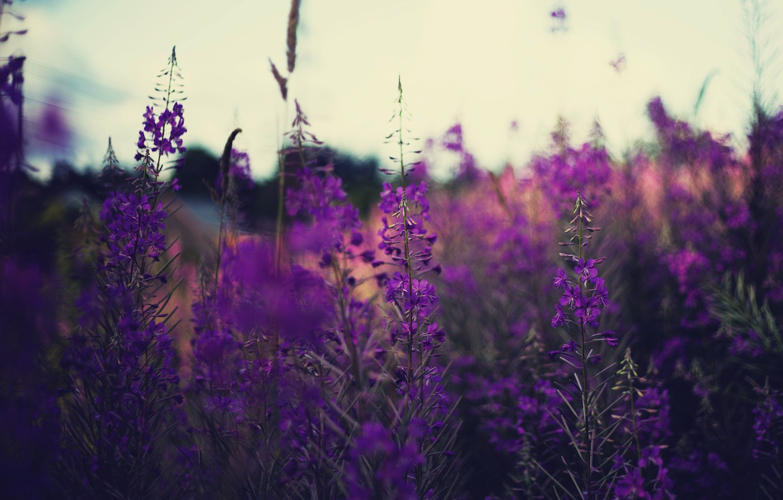 Photo wallpaper field, flowers, stems, lavender