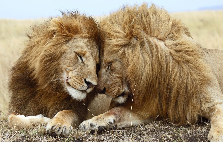 Photo wallpaper love, Leo, lioness