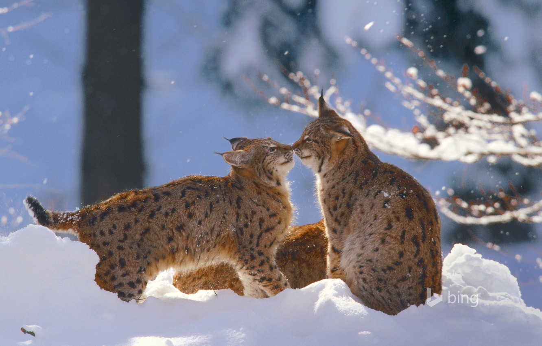 Photo wallpaper winter, cat, snow, Germany, lynx, National Park Bavarian forest