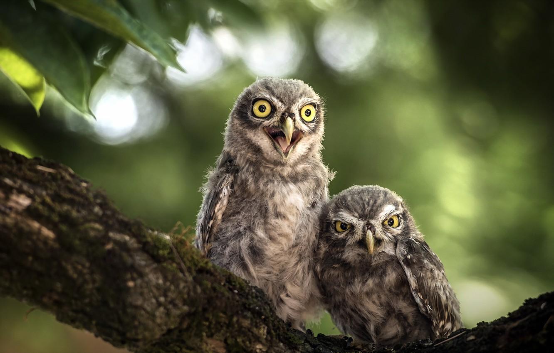 Photo wallpaper birds, nature, owls