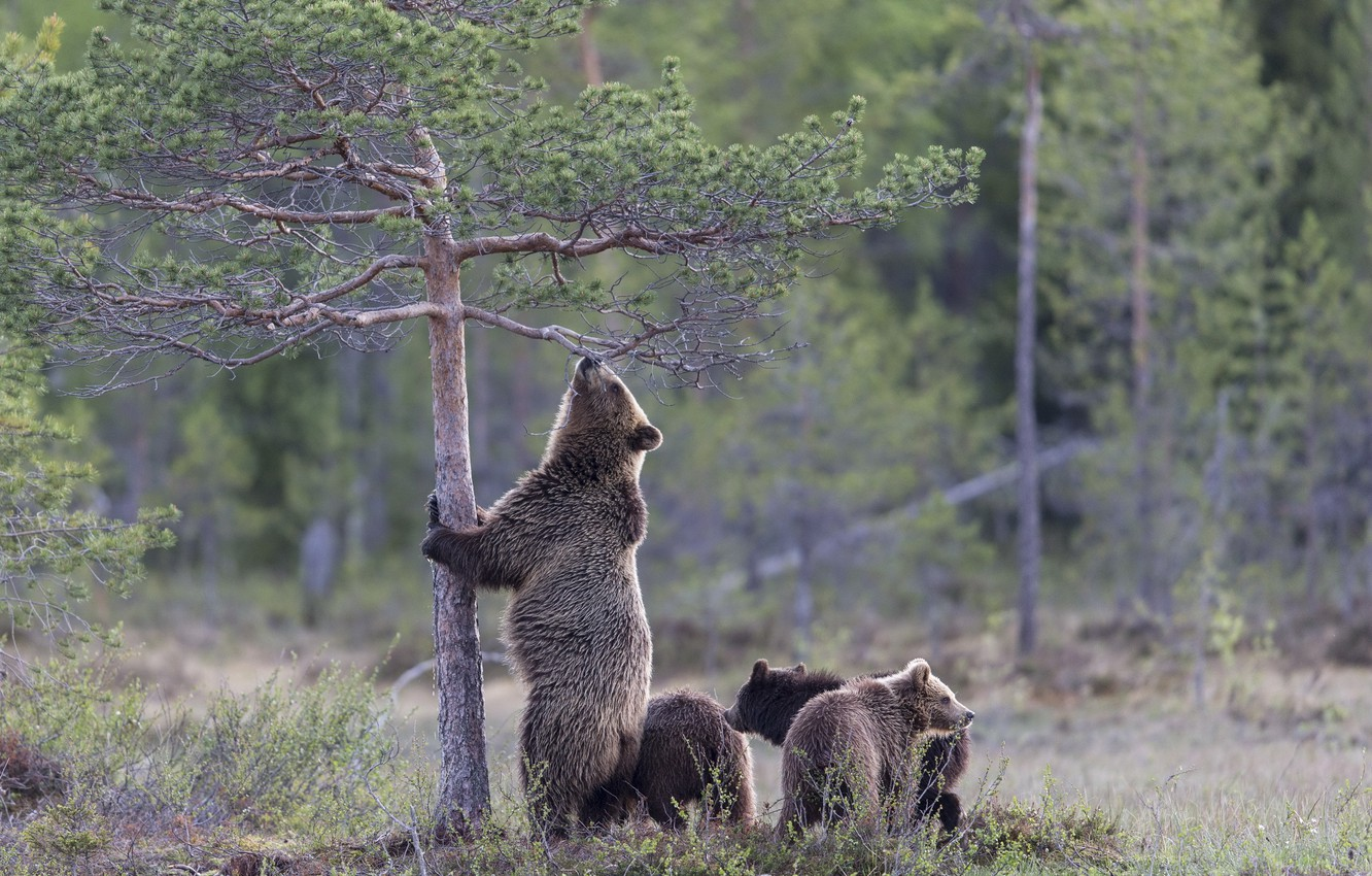 Photo wallpaper forest, nature, bears