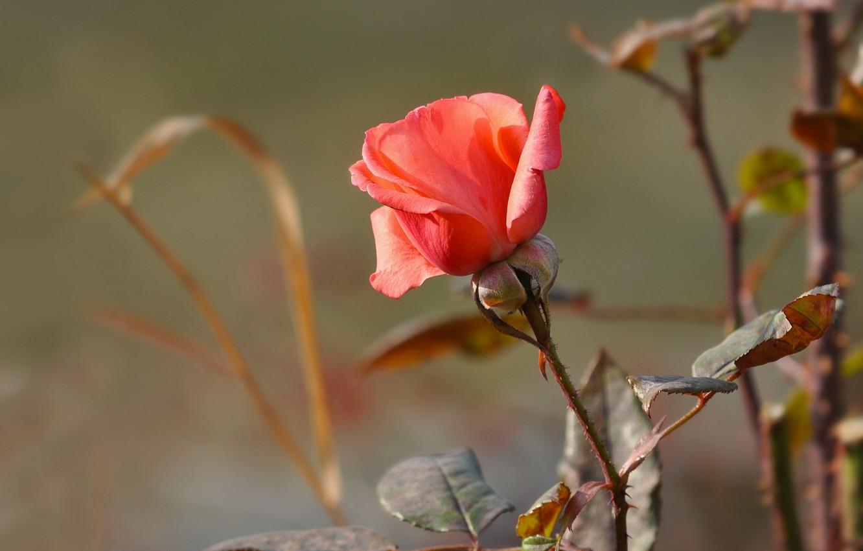 Photo wallpaper flowers, nature, rose