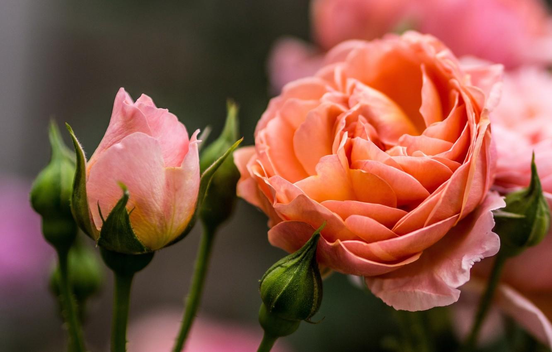 Photo wallpaper macro, rose, buds