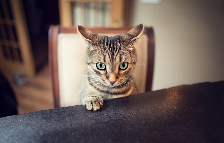 Photo wallpaper cat, look, paw, ears, ears