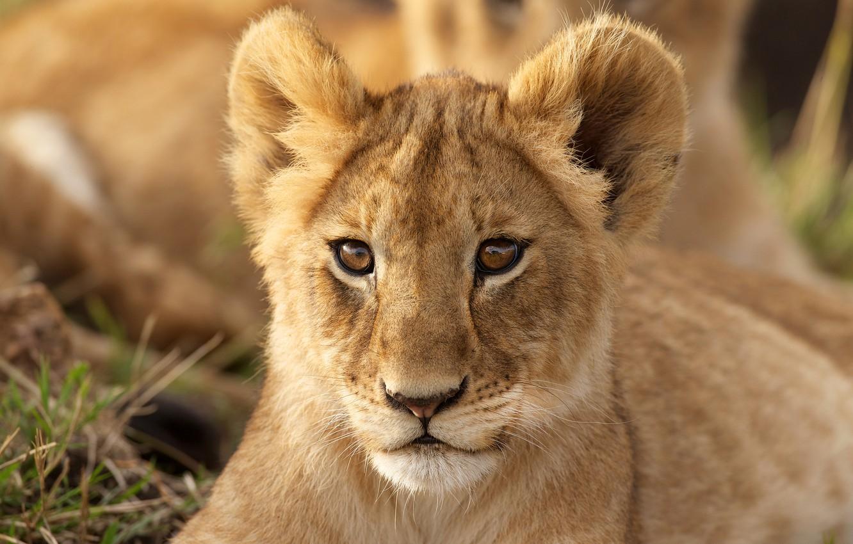Wallpaper Look Portrait Cub Lion Images For Desktop Section
