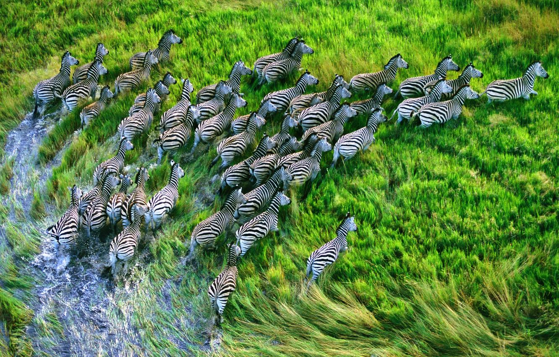 Photo wallpaper grass, apple, Zebra, zebras, mountain lion, retina