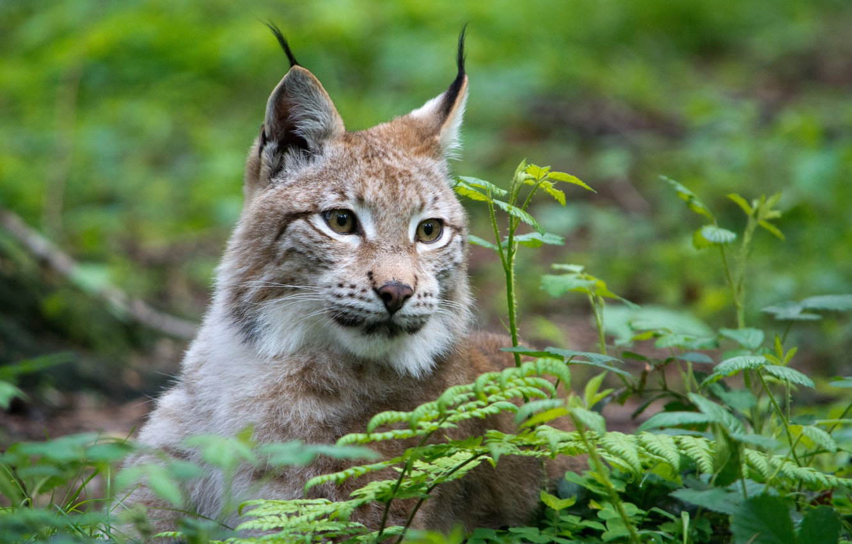 Photo wallpaper cat, grass, face, lynx