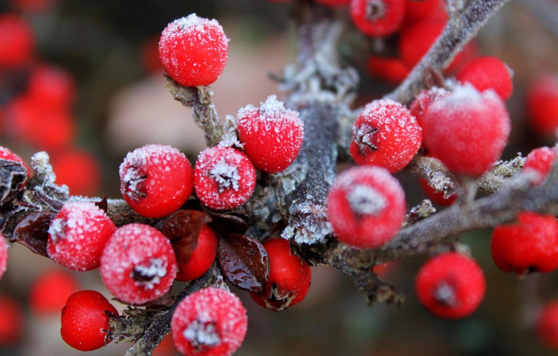 Photo wallpaper frost, berries, branch, fruit