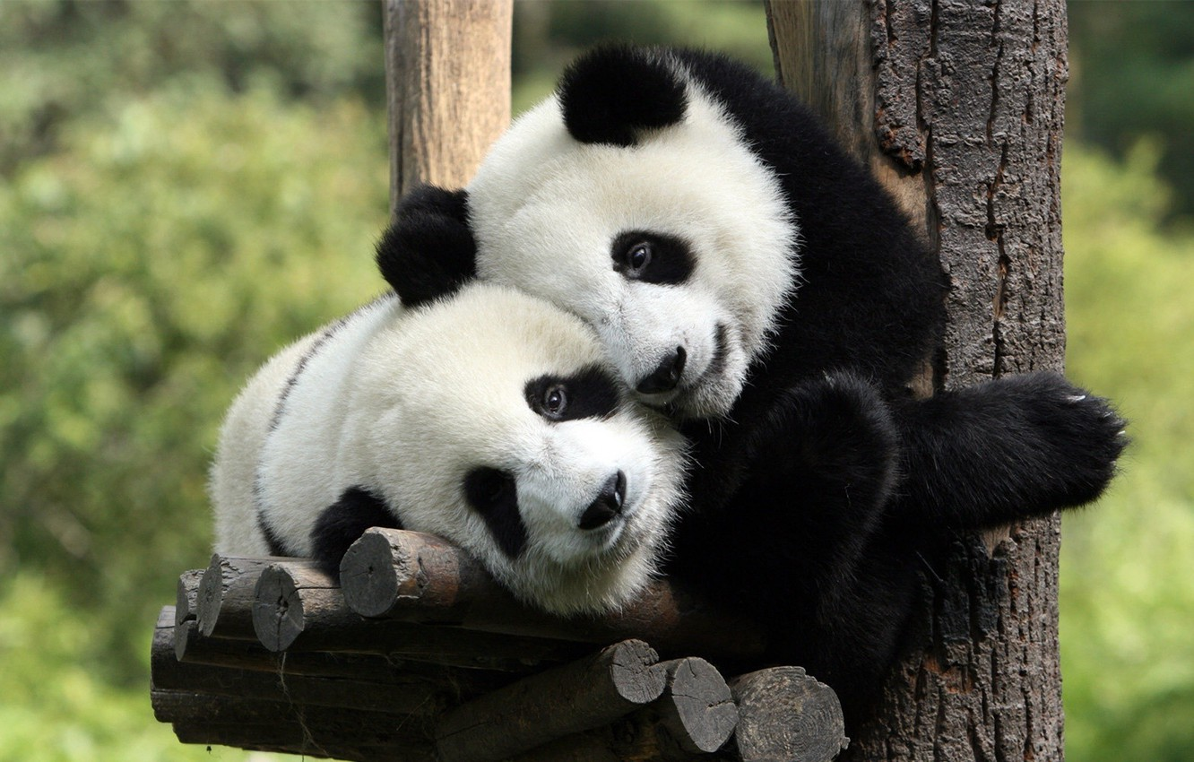 Photo wallpaper stay, bear, Panda
