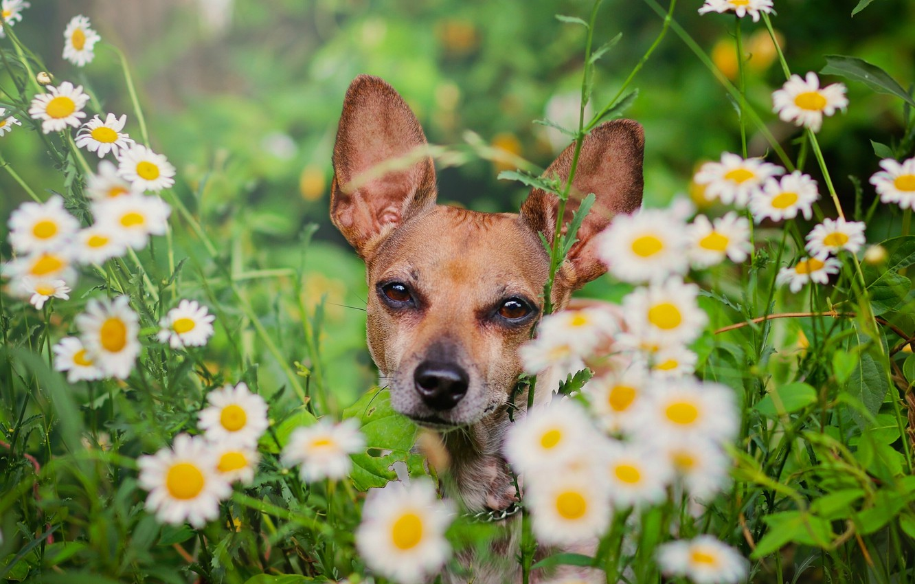 Photo wallpaper flowers, chamomile, dog, face