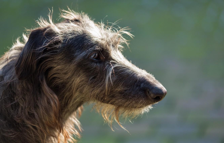 Photo wallpaper look, dog, sighthound