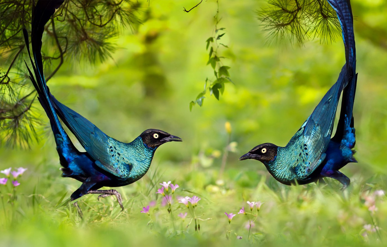 Photo wallpaper grass, nature, bird, dance, brilliant long-tailed Starling