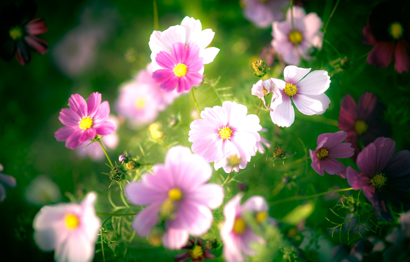 Photo wallpaper flowers, petals, pink, white