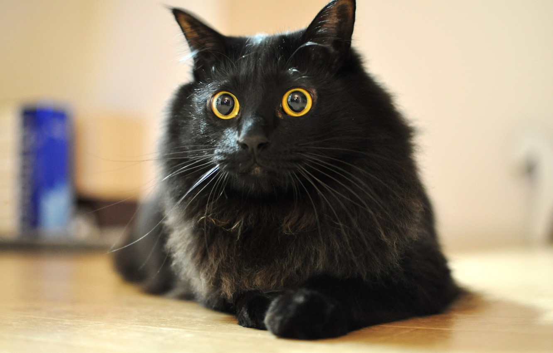 Photo wallpaper cat, eyes, cat, mustache, wool, Koshak