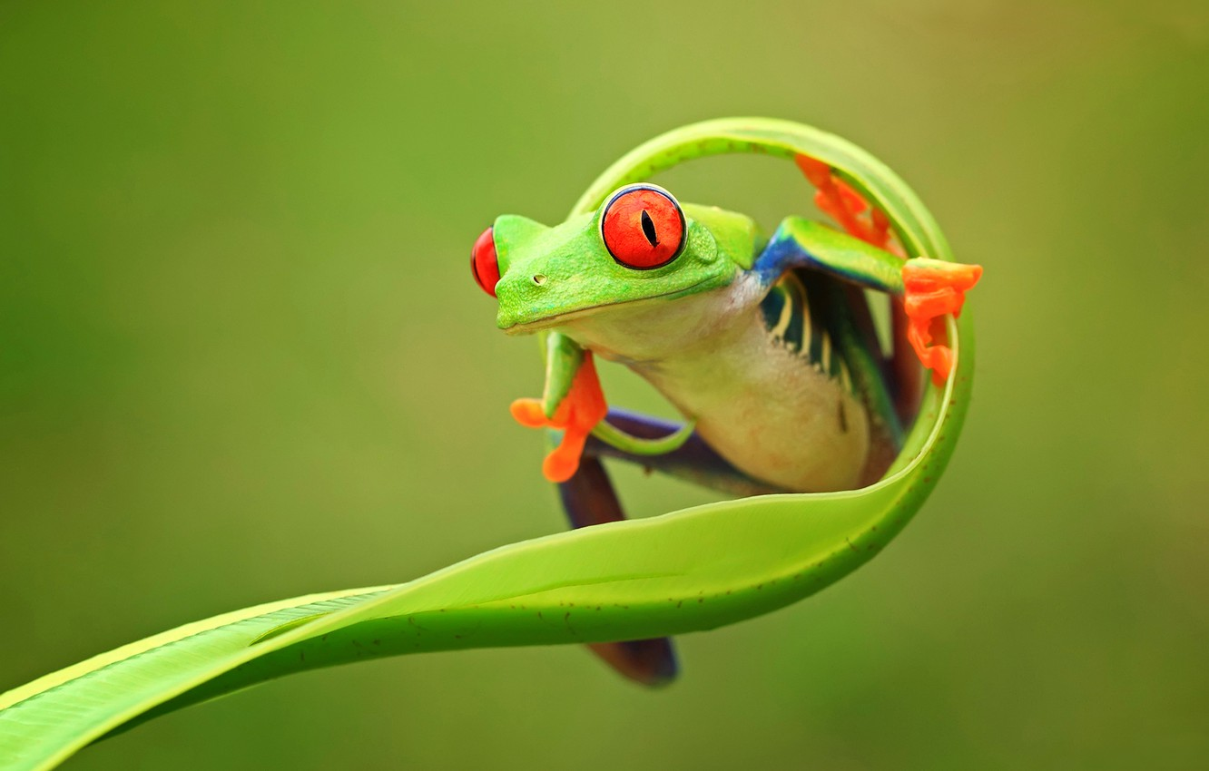 Photo wallpaper eyes, nature, background, color, frog, legs, green, animals, nature, frog, East, province, Indonesia, Java, the …