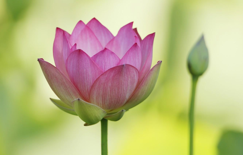 Photo wallpaper macro, petals, Lotus