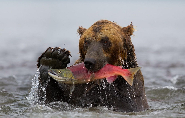 Photo wallpaper water, fish, bear, Kamchatka, grizzly, catch, sockeye