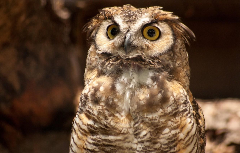 Photo wallpaper owl, bird, Virgin Filin