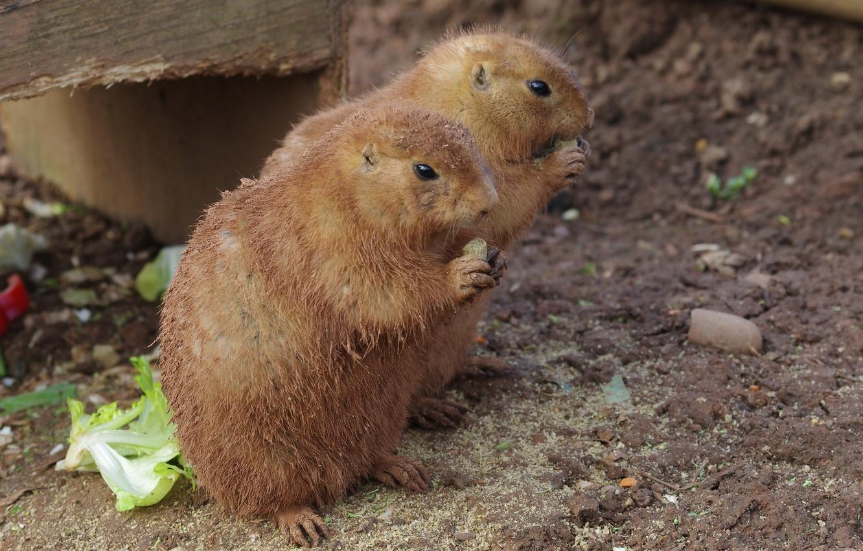 Photo wallpaper animals, cute, hamsters