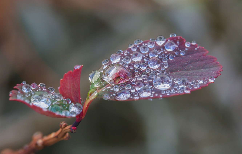 Photo wallpaper water, drops, macro, red, sheet