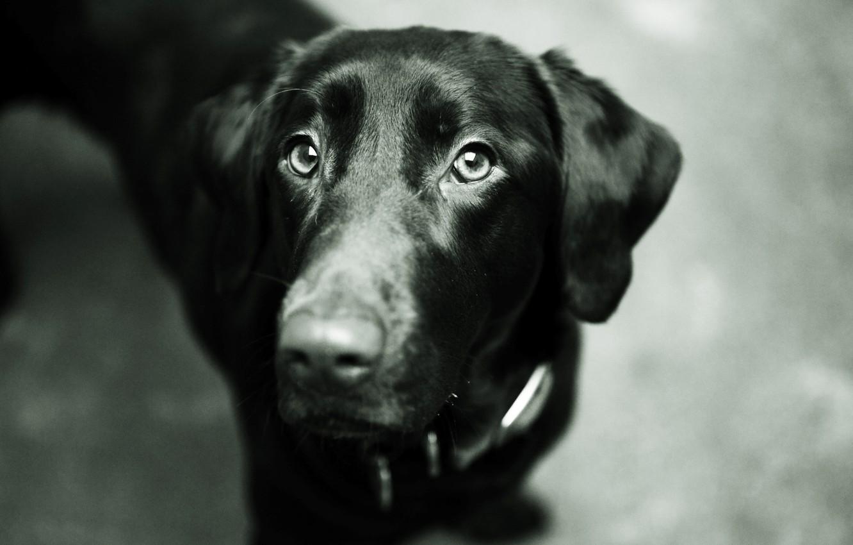 Photo wallpaper eyes, face, black, dog, nose, dog, Labrador Retriever