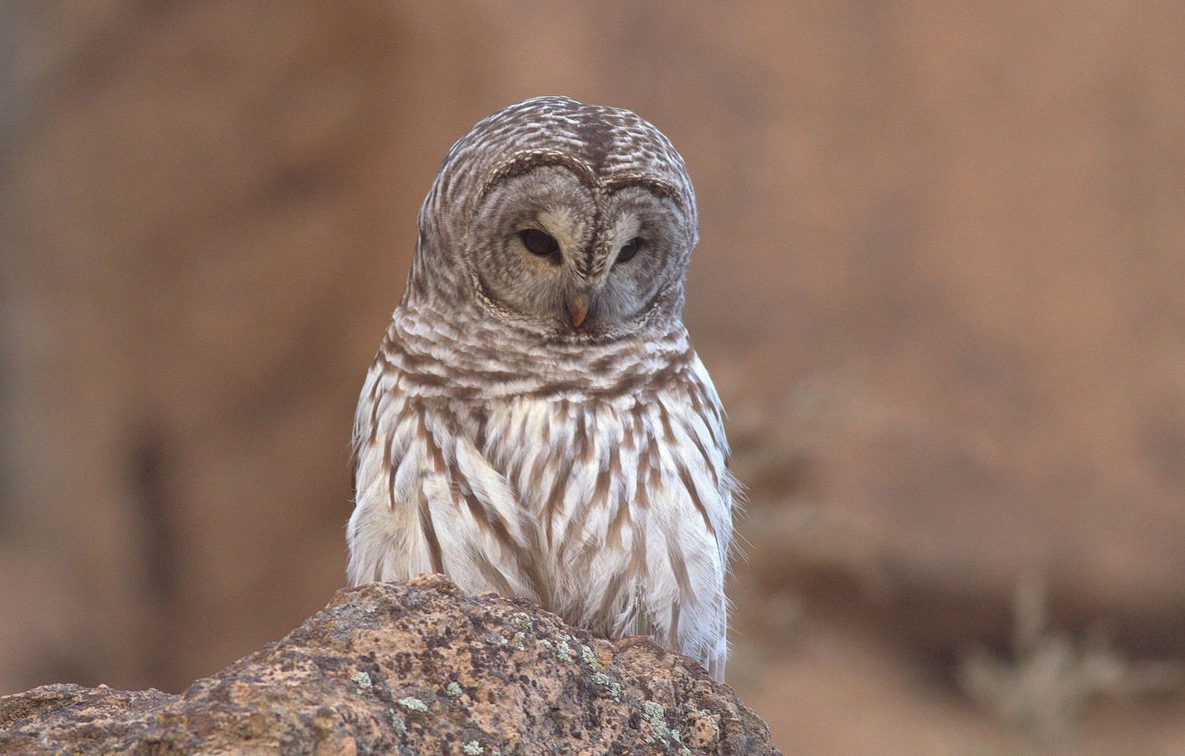 Photo wallpaper owl, stone, a barred owl
